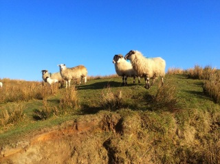 Visiting my sister's family's sheep in Donegal