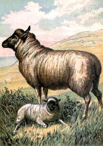 Animal-Range-and-Farm-Illustration-Sheep-with-lamb